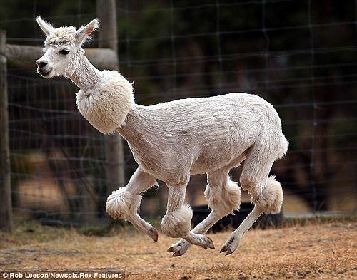 Alpaca_shearing_02.jpg