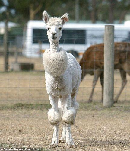Alpaca_shearing_03.jpg