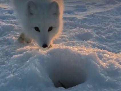Baby_Arctic_Fox.jpg