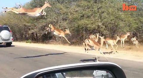Cheetah_Chases_Impala.jpg