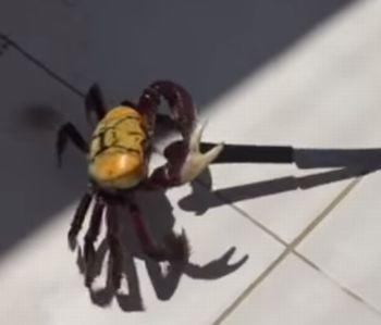 Crab_Carries_Knife.jpg