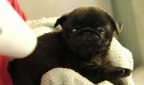 Cute_Pug_Puppy_Blow.jpg