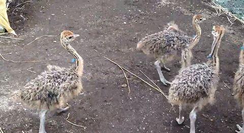 Dancing_baby_ostrich.jpg