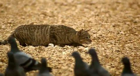 Feral_cat_hunting.jpg