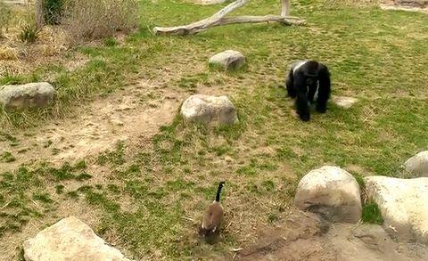 Gorilla_vs_Goose.jpg