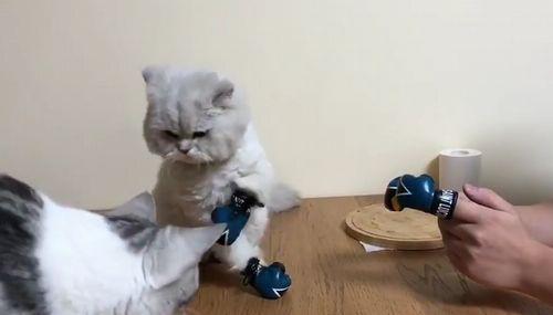 Kitten_Wearing_Tiny_Boxing_Gloves.jpg