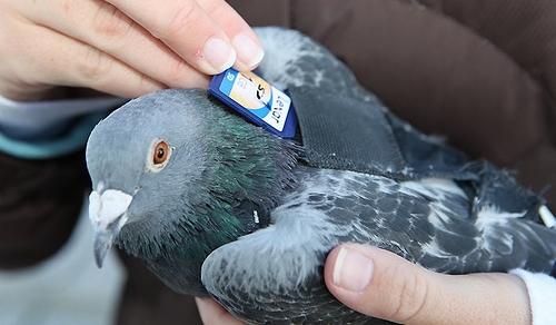 Pigeon_Express.jpg