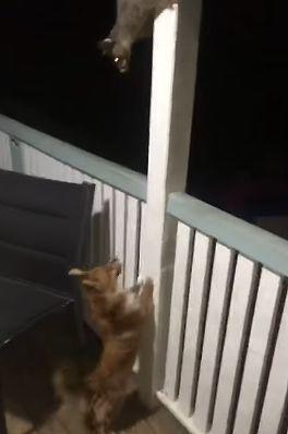 Possum_Versus_Puppy.jpg