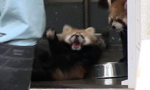 Red_Panda_Baby_surprise.jpg