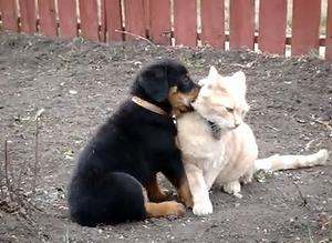 Rottweiler_VS_Cat.jpg