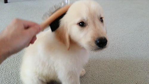 Sweet_Golden_Retriever_Puppy.jpg