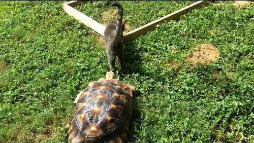 Tortoise_Chases_Cat.jpg