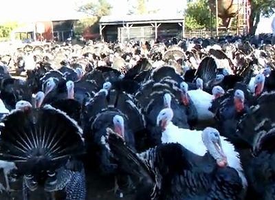Turkey_Talk.jpg