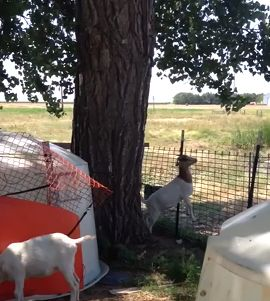 acrobatic_Goat.jpg