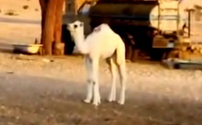 camel_appears.jpg