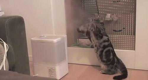 Munchkin_Cat_Fights_Humidifier.jpg