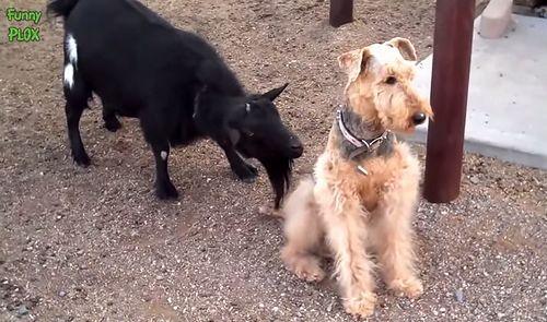 dog_vs_angry_goat.jpg