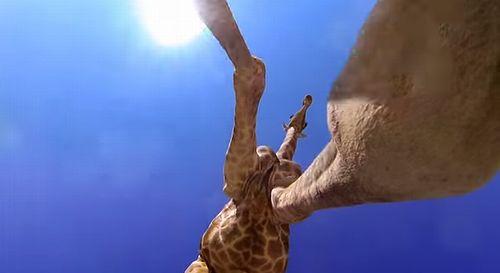 giraffe_kick.jpg