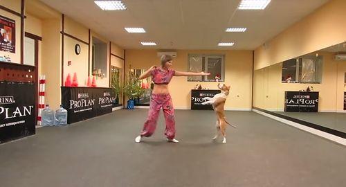 dancing_pit_bull.jpg
