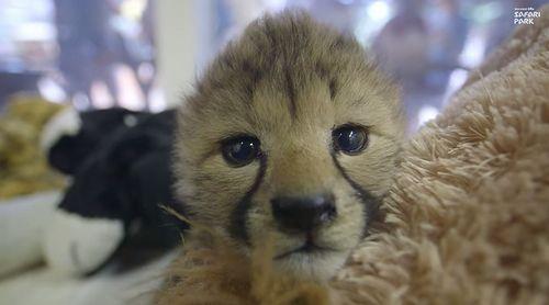 Cheetah_Cub_Sisters.jpg