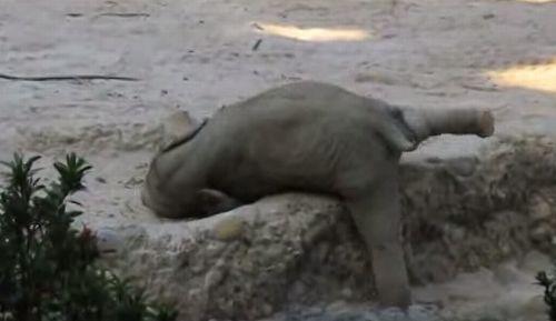 Baby_elephant_slips.jpg