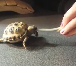Baby_Tortoise.jpg