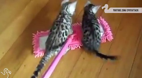 Cats_Riding_Mops.jpg