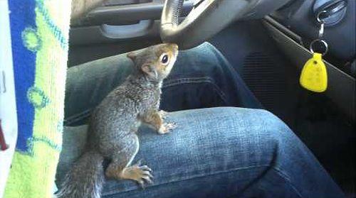 Squirrel_Driving_Car.jpg