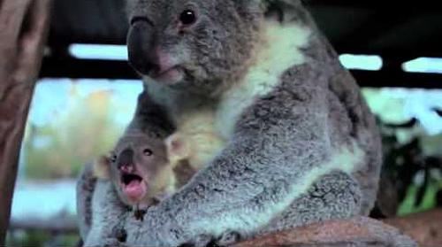Baby_Koala.png