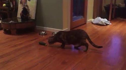 Cat_Stalks_Zucchini.png