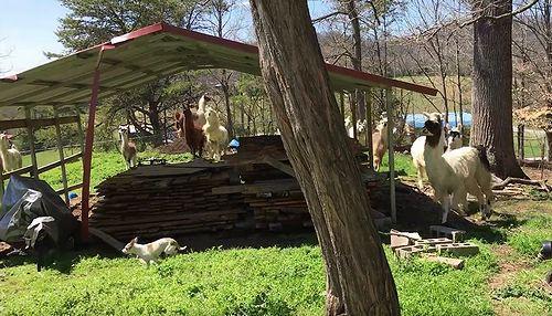 Llamas_Chasing_a_Tiny_Dog.jpg