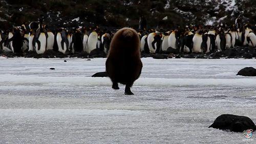 cute_king_penguin_chick.jpg