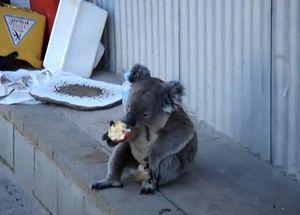 bad_koala.jpg