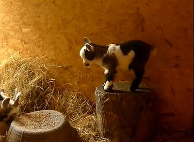cute_baby_goat.jpg