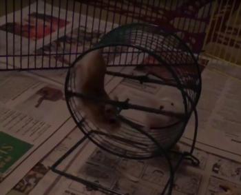 funny_dwarf_hamster.png