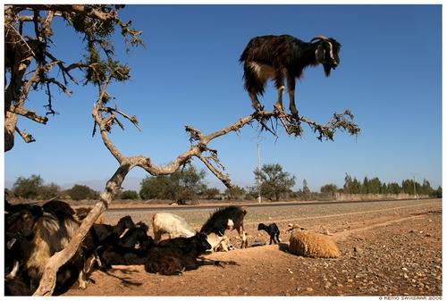 goat_collabo_04.jpg