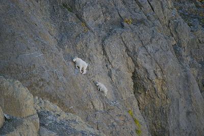 goat_collabo_08.jpg