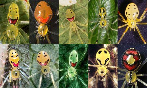 happy_face_spider_03.jpg