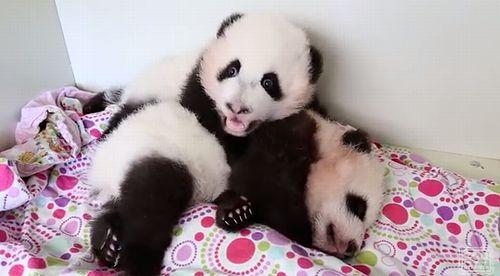 panda_cubs.jpg