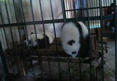 panda_prison_break.jpg
