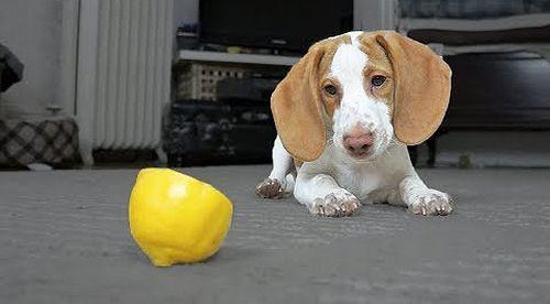 puppy_vs_lemon.jpg