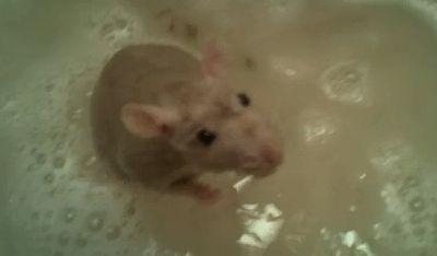 rat_takes_a_bath.jpg