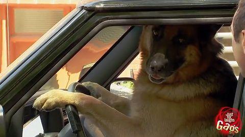 smart_dog_drivers.jpg