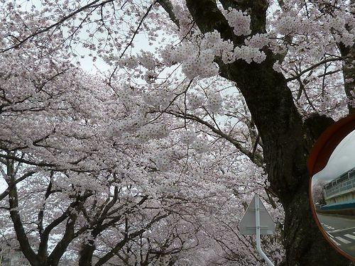 tomioka_sakura02.jpg