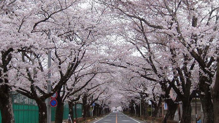 tomioka_sakura03.jpg