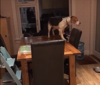 Dog_climbs_over_tables.png