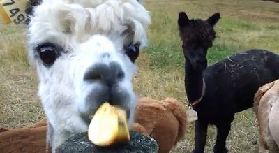 Alpacas_eat_apples.jpg