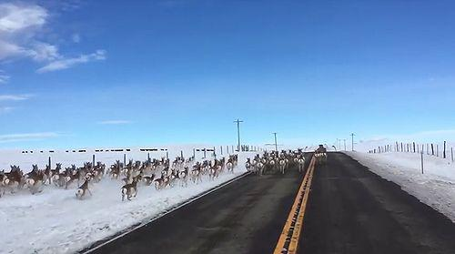 Antelope_running_down_Highway.jpg