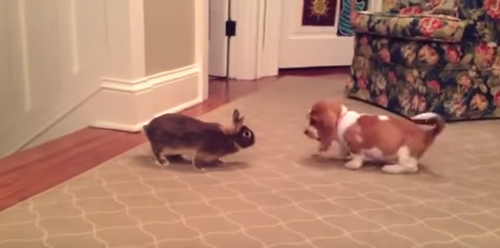 Basset_Hound_puppy_plays_with_bunny_rabbit.png