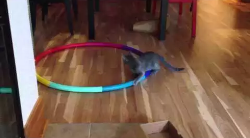 Cat_going_crazy_on_Hula_Hoop.png